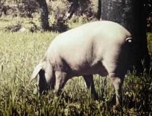 porc iberique bellota